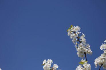 Bienenfutter Süßkirchenblüten zum Frühlingsanfang
