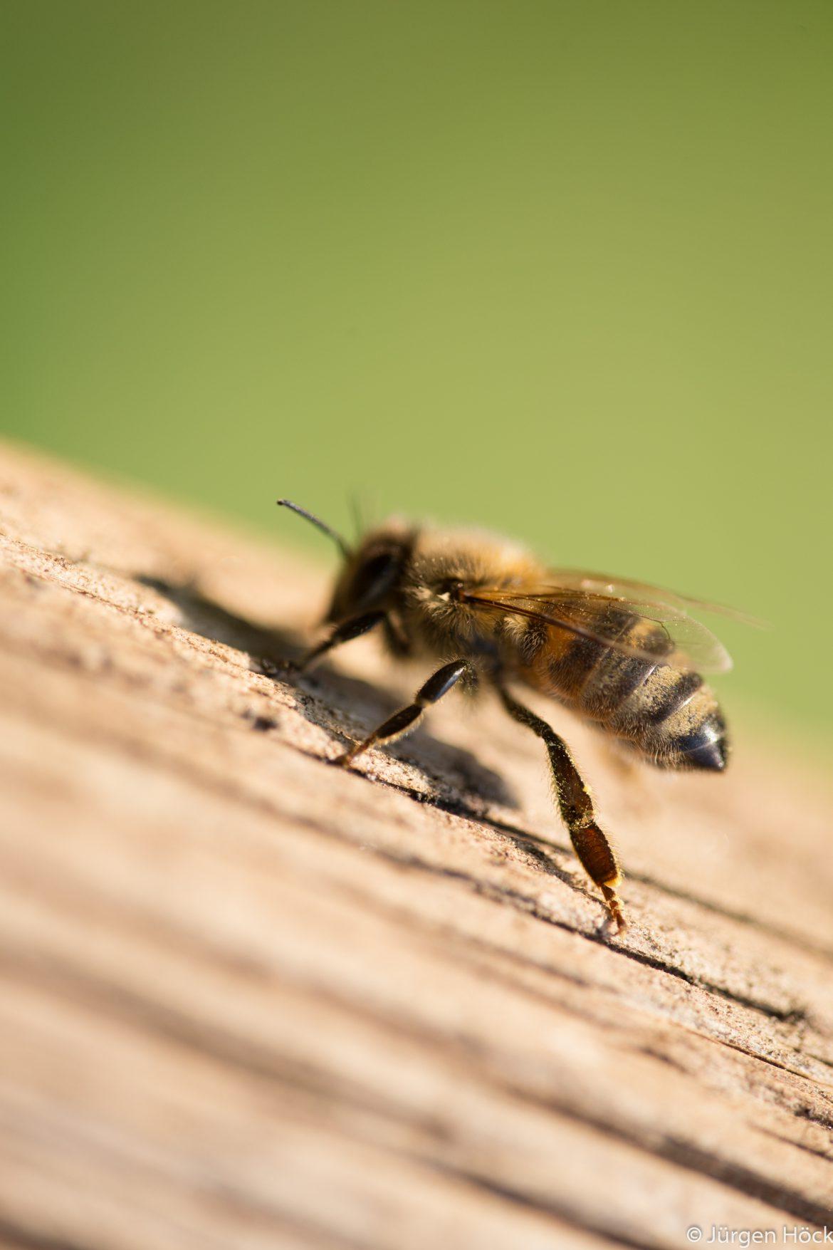 Makro Bienenseitenansicht