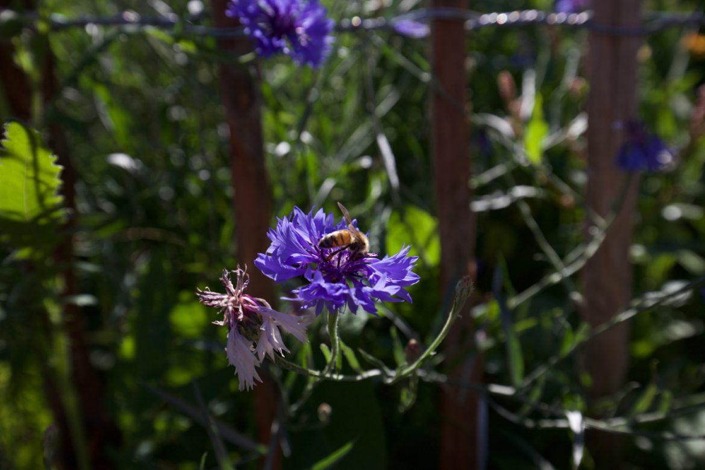 Bienenfutter Kornblumen mit Biene