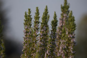 blühender Rosmarin als Futerquelle im Frühling für die Bienen