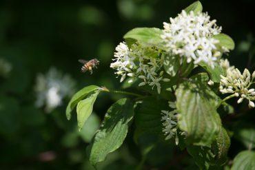 Bienenfutter Roter Hartriegel
